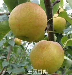 3 5公分玉露香梨树苗 中国梨苗 称号